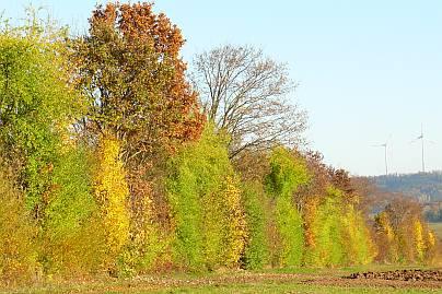 Limeshecke im Herbst